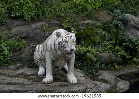 A white tiger about to pounce on her next meal