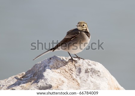 A White Wagtail (Motacilla Alba) sitting on the top of a stone