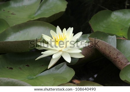 A white Water Lily surrounded by green leaves - stock photo