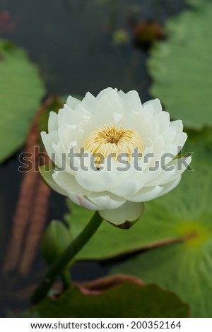 A white waterlily on the natural pool - stock photo