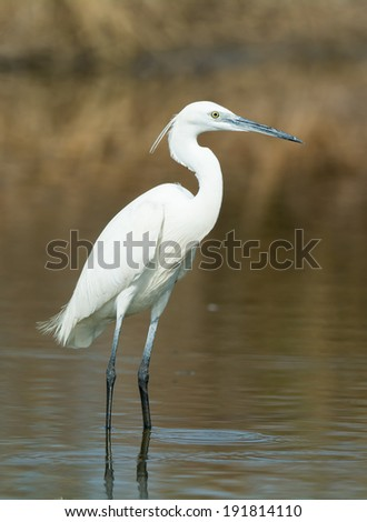 A white Western Reef Heron (Egretta gularis) standing in shallow water - stock photo