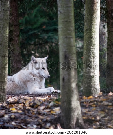 A white wolf relaxing in the forest - stock photo