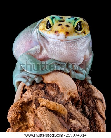 A whites tree frog has the head of a leopard gecko. - stock photo