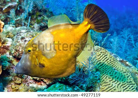 A whitespotted filefish with translucent dorsal and anal fins against a Caribbean reef. Selective focus.