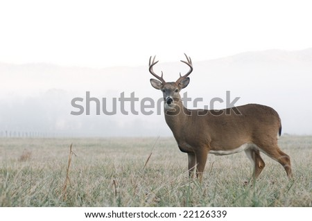 A whitetail buck stands at alert in an open meadow on a foggy morning in Tennessee - stock photo