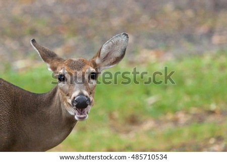 A whitetail deer doe grazes in the grass