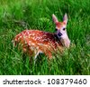 A Whitetail Fawn in Green Meadow - stock photo