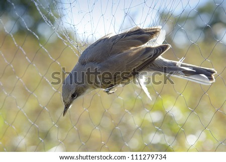 A whitethroat in a bird net