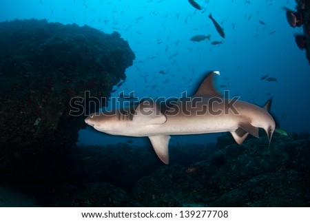 A Whitetip reef shark (Triaenodon obesus) hunts for reef fish over a rocky bottomed reef near Cocos Island, Costa Rica.  Cocos, a national park, is known for its large shark population. - stock photo