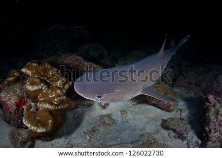 A Whitetip reef shark (Triaenodon obesus) hunts small reef fish at night near Cocos Island, Costa Rica.  This island is known for its large numbers of sharks. - stock photo