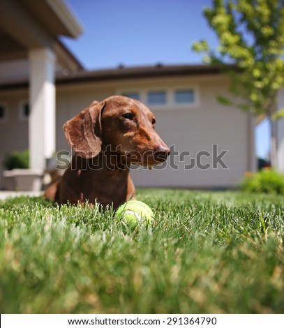 a wiener dog dachshund dog playing with a tennis ball (SHALLOW DOF on the ball) - stock photo