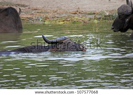A WILD African Buffalo struggles to take its last breaths before being dragged under the water by a crocodile in the Kazinga Channel in Uganda, Africa. Predator and Prey relationship. - stock photo