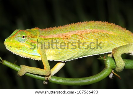 A WILD and extremely colourful Side-striped or Two-lined Chameleon in Uganda, Africa.  Species name is Trioceros bitaeniatus or Chamaeleo bilineatus. Isolated on black with plenty of space for text. - stock photo