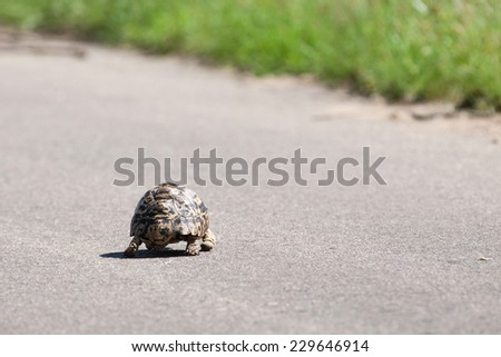 A wild baby Leopard Tortoise crossing a tarred road