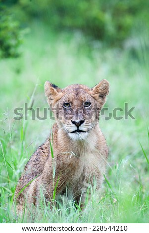 A wild baby Lion cub sitting on green grass in the rain - stock photo