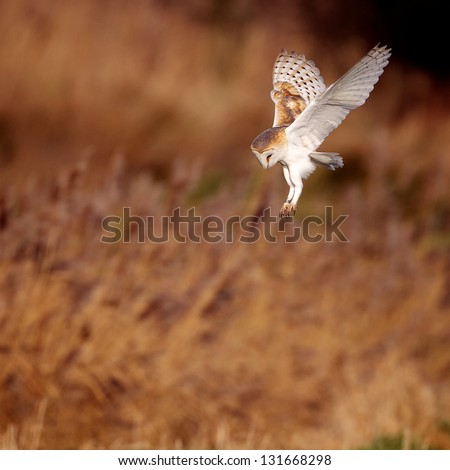 A wild barn owl about to strike - stock photo