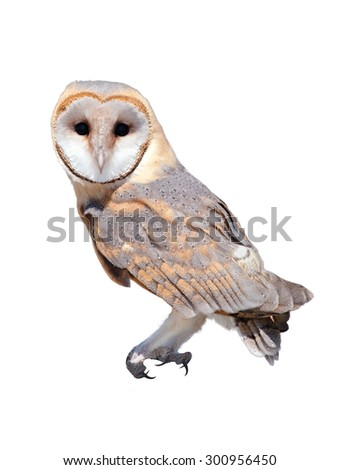 A wild barn owl isolated on white background - stock photo