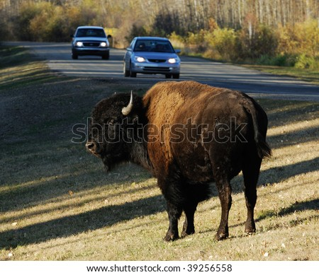 A wild bison wandering beside a local road in elk island national park, edmonton, alberta, canada - stock photo