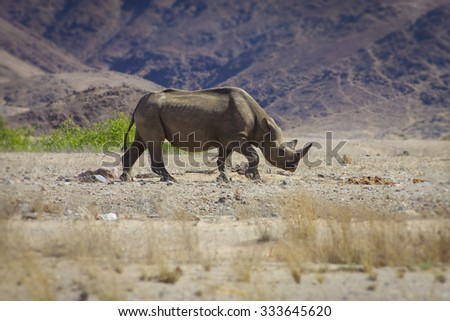 A wild black rhino in the Kaokoland walking on his own in the semi arid desert close to the Skeleton Coast Desert, Namibia - stock photo