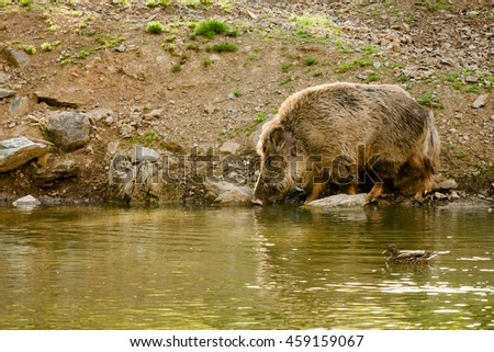 a wild boar goes after the banks of the pond for a drink, after water floating duck