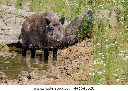 a wild boar stands in the water near the shore, in the vicinity there are flowers and stones