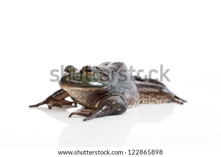 A wild bullfrog, lying on the white background paper