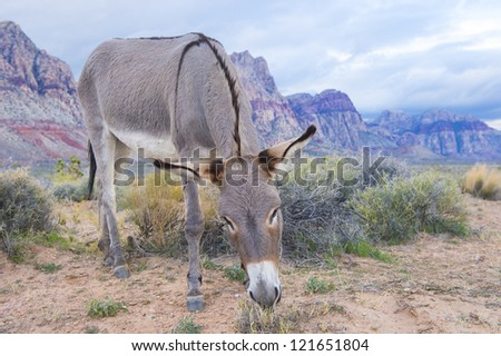 A wild burro in the Nevada desert - stock photo