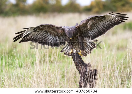 A wild buzzard landing on an old tree branch in the countryside looking and hunting for prey. The Buzzard is a bird of prey in the Hawk and Eagle family. - stock photo