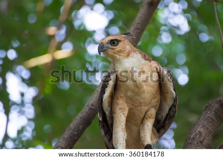A wild buzzard sitting on an old tree branch in the countryside looking and hunting for prey. The Buzzard is a bird of prey in the Hawk and Eagle family. - stock photo