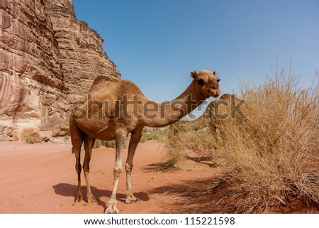 A wild Camel eats some foliage in the Arabian desert - stock photo