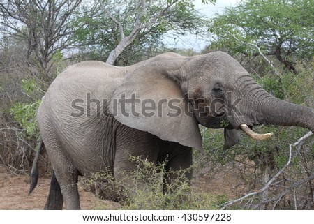 A wild elephant in South Africa