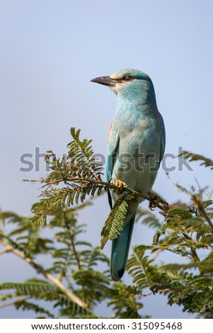 A wild European Roller bird perched on a thorn tree branch during the day in the Kruger National Park, South Africa - stock photo