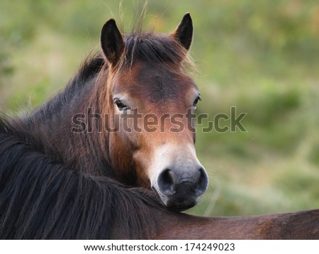 A wild Exmoor pony looks over the back of another one.