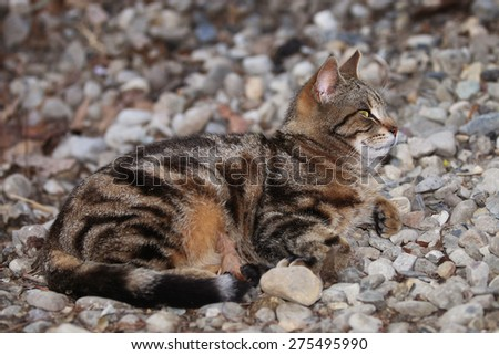 A Wild Feral Cat Resembling a Bengal Cat Sleeping Outside on a Pile of Rocks - stock photo