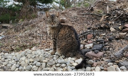 A Wild Feral Cat Sitting on a Pile of Rocks Looking for a Meal