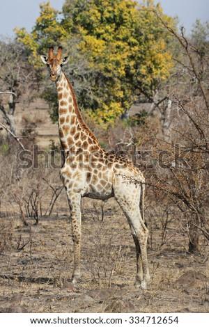 A wild giraffe somewhere in Krueger National Park, South Africa. - stock photo