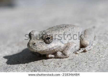 A wild grey Californian Treefrog blending into stone - stock photo