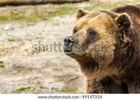 A wild grizzly bear up close and personal - stock photo