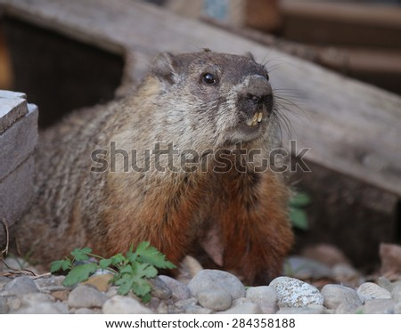Woodchuck Stock Photos, Images, & Pictures | Shutterstock  Woodchuck Stock...