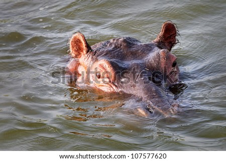 A WILD Hippopotamus Peers Out from the Water in the Kazinga Channel in Uganda, Africa - stock photo