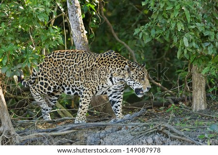 A wild Jaguar walking on a river bank in the Pantanal, Brazil - stock photo