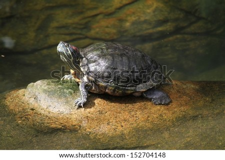 A wild life shot of a turtles in captivity