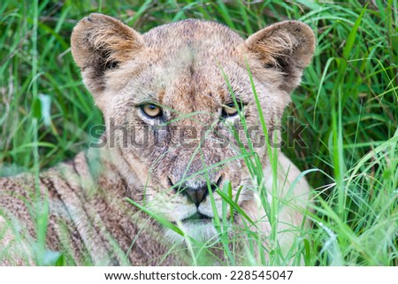 A wild Lioness resting in long green grass on a rainy day