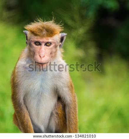 A wild Macaque Monkey against a green background