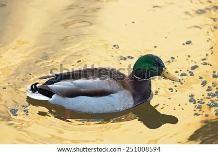 A wild Mallard swimming in golden water - stock photo