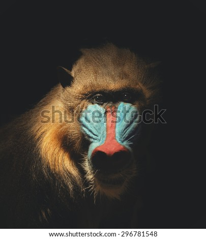 A wild mandrill mammal is isolated on a black background for a endangered or species concept about animals. - stock photo