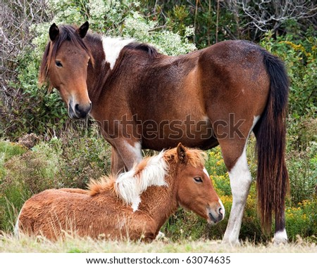 A wild mare (horse) and her foal. - stock photo