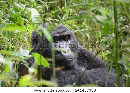A wild Mountain Gorilla sits in dense foliage in the Bwindi Impenetrable Forest, Uganda. - stock photo
