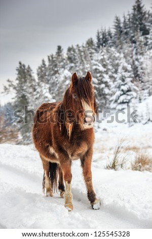 A wild mountain pony in a snow and tree covered rural landscape - stock photo