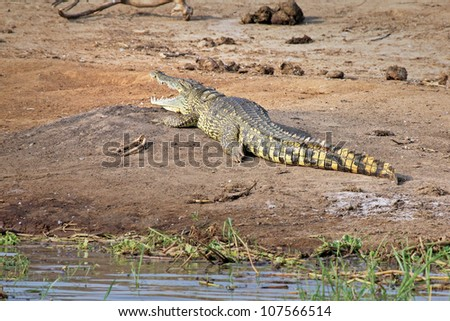 A WILD Nile Crocodile or Common Crocodile (Crocodylus niloticus) basking on the banks of the Kazinga Channel in Uganda, Africa. - stock photo